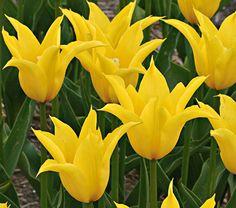Lily Flowering Tulip 'Flashback'