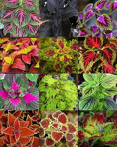 Details about COLEUS MIX, flowering MANTO ornamental garden brightly colored foliage 15 seeds Succulent Garden Diy Indoor, Shade Garden Plants, Fall Plants, House Plants, Container Plants, Container Gardening, Container Flowers, Flower Seeds, Flower Pots