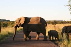 Pilansberg Game Reserve elephant family going for a stroll :) © Jenniflowers