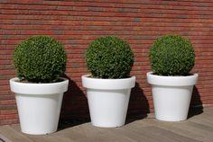 Buxus in Bloom potten de potten geven licht Door er drie naast elkaar te plaatsen ontstaat er een groots effect www.biesot.nl Buxus, Planter Pots, Bloom, Green Mountain Boxwood