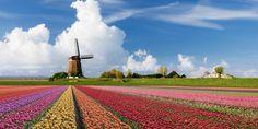 Bulb fields, South Holland