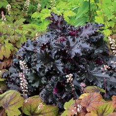 Heuchera Black Taffeta Discover the beautiful perennials and graceful grasses grown by Santa Rosa Gardens. Plants and garden accessories available for mail-order throughout the United States. Shade Perennials, Flowers Perennials, Shade Plants, Shade Garden, Garden Plants, Potted Plants, Coral Bells Heuchera, Garden Express, Bell Gardens