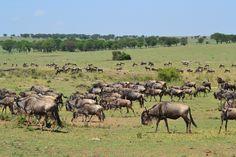 Tanzania Safari, Kenya Safari, See Wildebeest Migration Africa Holiday   info on migration