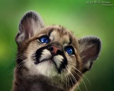 Mountain Lion Cub and piercing blue eyes. I wonder if this is this photo shopped or real... lovely.