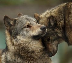 """beautiful-wildlife: """" Wolves Nuzzling by Selena Chambers """""""