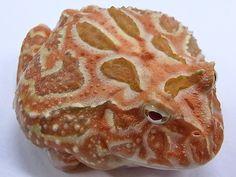 Apricot Albino Pacman Frog