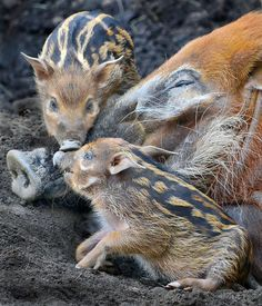 Two baby Red River Hogs play while their mom tries to sleep at the San Diego Zoo's Safari Park. The new arrivals are natives of Central Africa.