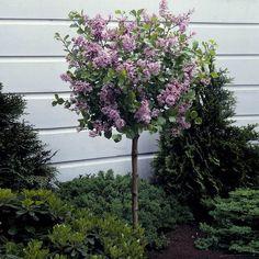 Korean Lilac Trees for Sale | FastGrowingTrees.com Garden Shrubs, Patio Plants, Flowering Shrubs, Garden Plants, Shade Garden, Tree Garden, Garden Gate, Dwarf Korean Lilac Tree, Dwarf Lilac Tree