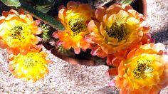Today's stunning cactus blooms at the Gallery In The Sun! #TedDeGrazia #DeGrazia #Artist #Ettore #Ted #NationalHistoricDistrict #GalleryInTheSun #ArtGallery #Nonprofit #Foundation #Gallery #Adobe #Architecture #Art #Tucson #Arizona #AZ #SantaCatalinas #Desert #Courtyard #Cactus #Flores #Flowers #Blooms