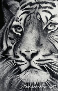 Realistic Animal Drawings, Realistic Sketch, Pencil Drawings Of Animals, Animal Sketches, Art Drawings Sketches, Tiger Sketch, Lion Sketch, Tiger Drawing, Tiger Artwork