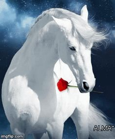 Such a beautiful white horse with a pretty red rose just for me ! Cute Horses, Pretty Horses, Horse Love, Horse Photos, Horse Pictures, Cute Baby Animals, Animals And Pets, Beautiful Creatures, Animals Beautiful