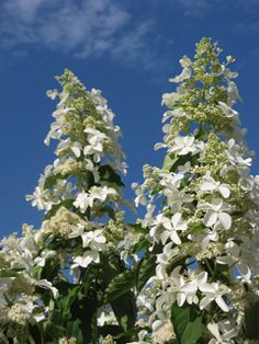 Hydrangea 'Levana' - towering plants up to 3m tall with pure white blooms.