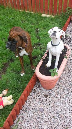 Boxer Dogs - Community - Google+ UMm