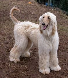 Teddy the Afghan Hound standing in dirt with his tail up