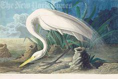 White Heron, Plate 386
