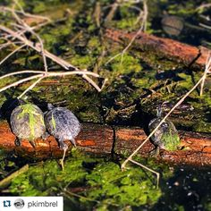 #Repost @pkimbrel with @repostapp.  Cult of #turtle
