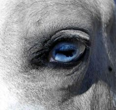 Arabian Horse with Blue Eyes | Found on facebook.com