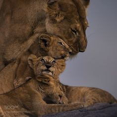 Mother and Cubs by cfischerphoto