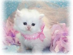 White Persian Cat Cute 10 Ideas About Pretty Cats Cute Cats Crazy Cats And More