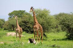 Giraffes in Tarangire National Park keeping an eye on a lion