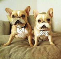 Moustached French Bulldogs.