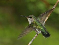 Every Bird In The World   World's smallest bird: Mellisuga minima - Records of the Hummingbirds ...