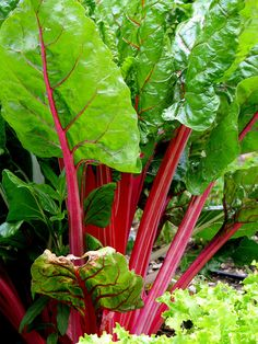 beautiful Swiss chard, I have this in my vegetable garden and in the flower beds