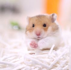 """Hamsters are adorable creatures and make delightful pets. They are mammalian, but are also classified as a rodent. The word rodent comes from the French """"rodere"""" which means to gnaw; hamsters are referred to as rodents Cute Little Animals, Cute Funny Animals, Rats Mignon, Funny Hamsters, Dwarf Hamsters, Hamster Breeds, Syrian Hamster, Chinese Dwarf Hamster, Hamster Care"""