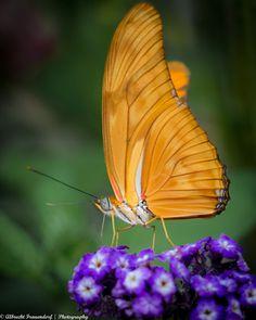Photograph Orange Butterfly by Albrecht Frauendorf Beautiful Bugs, Beautiful Dream, Beautiful Butterflies, Beautiful Things, Butterfly Photos, Butterfly Kisses, Butterfly Wings, Pictures Of Wings, Butterfly Feeder