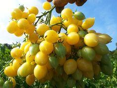 Barry's Crazy Cherry Tomato Heirloom Garden Seeds (Yellow)  http://www.rareseeds.com/barry-s-/