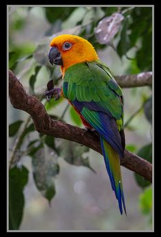 Jenday Conure parrot - (CC)Sheba_Also - www.flickr.com/photos/shebalso/8251141250/in/photostream#