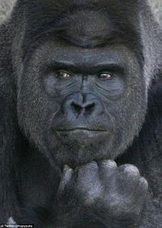 イケメン過ぎるゴリラ シャバーニ handsome gorilla Shabani Higashiyama zoo NAGOYA