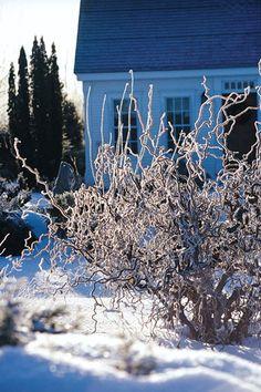 contorted chestnut in a chilly winter garden, charlotte vt
