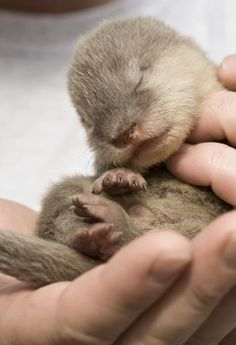 A baby Asian small-clawed otter. It looks like it needs some cuddles from me...