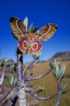 Suraka Silk Moth {Antherina suraka} ~ Photographed in Isalo National Park,  Madagascar... © Karl Lehmann