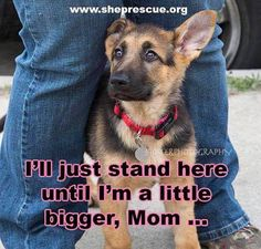 The German Shepherd Dog jpg German Shepherd Puppies, German Shepherds, Akc Breeds, Malinois Dog, Dog Information, Gsd Puppies, Schaefer, Animal Quotes, Service Dogs