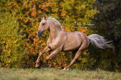 Andalusian Horse, Friesian Horse, Arabian Horses, Palomino, All The Pretty Horses, Beautiful Horses, Golden Horse, Horse Artwork, Black Horses