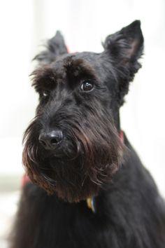 381 best scottie dogs i images scottish terriers scottie dogs