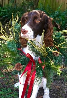 Bailey Belle  English Springer Spaniel at Christmas