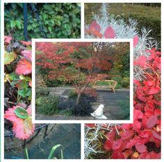 Volop herfst in de tuin, ook de blauwe bes staat vol op te pronken naast het zilverkleurige blad van het Kerriekruid,  25-10-2016.