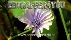 Gewöhnliche Wegwarte Cichorium intybus Timelapse Zeitraffer Blooming blu...