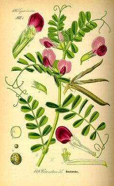 Vicia sativa (Common Vetch) ~ Flora von Deutschland Österreich und der Schweiz (1885)