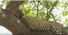 Laura Brown @lauragaile  10h10 hours ago Queen Karula rests in a tree with @scottydsafari on #SafariLive 11-14-15