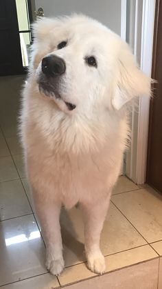my roommates boyfriend just adopted one Pyrenees Puppies, Great Pyrenees Puppy, Beautiful Dogs, Animals Beautiful, Big Dogs, Cute Dogs, Maremma Sheepdog, Puppies And Kitties, Doggies