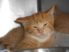 """Cute little 6 month old fella """"OLIVER"""" is in need of love & TLC...can you help this sweetie? PITTSBURGH, PA...PetHarbor.com: Animal Shelter adopt a pet; dogs, cats, puppies, kittens! Humane Society, SPCA. Lost & Found."""