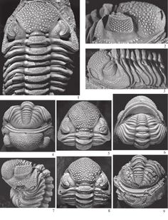 (1) Trilobites from the upper Lower to Middle Devonian Timrhanrhart Formation, Jbel Gara el Zguilma, southern Morocco | Miguel Pais - Academia.edu