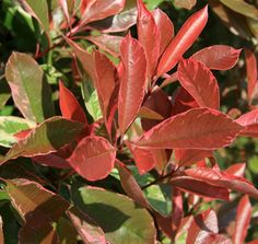 Photinia Pink Marble™ | Star® Roses and Plants