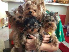 .4 cute little yorkies