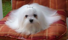 MALTESE BREEDER FROM LACHICPATTE.CO #maltese BREEDER FROM LACHICPATTE.COM