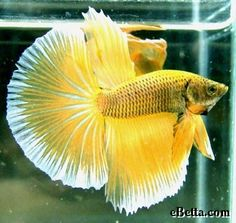 Google Image Result for http://ebetta.com/wp-content/uploads/2007/08/betta_like_alot_of_space.jpg